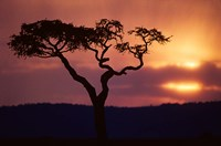 Acacia Tree as Storm Clears, Masai Mara Game Reserve, Kenya Fine Art Print