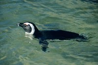 African Penguin swimming, Cape Peninsula, South Africa Fine Art Print