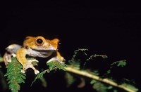 Frog in the Analamazaotra National Park, Madagascar Fine Art Print