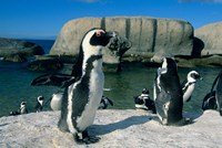 African Penguins, South Africa Fine Art Print