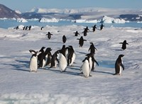 Adelie Penguins, Devil Island, Antartica Fine Art Print