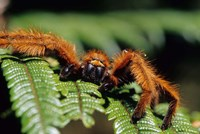 Close-up of Tarantula on Fern, Madagascar Fine Art Print