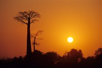 Baobab Avenue at Sunset, Madagascar Fine Art Print
