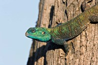 Green-Headed Agama Lizard, Tanzania Fine Art Print