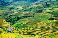 China, Yuanjiang, Cloudy Sea Terrace, Agriculture Fine Art Print