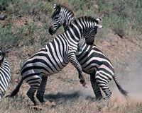 Fighting Burchell's Zebra, Serengeti, Tanzania Fine Art Print