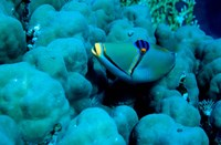 Arabian Picasso Triggerfish, Panorama Reef, Red Sea, Egypt Fine Art Print