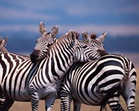 Group of Zebras, Masai Mara, Kenya Fine Art Print
