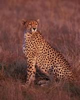 Cheetah sitting, Masai Mara, Kenya Fine Art Print
