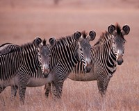 Grevy's Zebra, Masai Mara, Kenya Fine Art Print