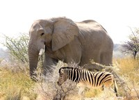 African Elephant and Zebra at Namutoni Resort, Namibia Fine Art Print