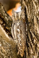 African Scops Owl in Tree, Namibia Fine Art Print