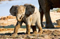 Baby African Elephant in Mud, Namibia Fine Art Print