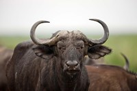African Buffalo wildlife, Uganda Fine Art Print