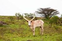 White Ankole-Watusi cattle. Mbarara, Ankole, Uganda. Fine Art Print
