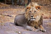 Botswana, Savute, Chobe National Park, Lion Fine Art Print
