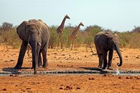 Elephants and giraffes, Etosha, Namibia Fine Art Print