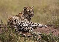 Africa, Tanzania, Serengeti. Leopard, Panthera pardus. Fine Art Print
