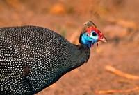 Helmeted Guinea Fowl, Kenya Fine Art Print