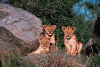 Den of Lion Cubs, Serengeti, Tanzania Fine Art Print