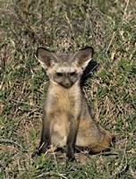 Bat-Eared Fox, Tanzania Fine Art Print