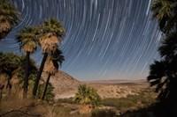 California Fan Palms and a mesquite grove in a desert landscape Fine Art Print