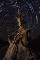 Star trails above a bristlecone pine tree, California Fine Art Print