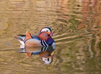 Mandarin Duck, Beijing, China Fine Art Print