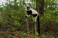 Lemur, Madagascar Fine Art Print