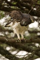 Martial Eagle, Gol Kopjes, Serengeti National Park, Tanzania Fine Art Print