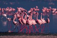 Lesser Flamingo, Kenya Fine Art Print