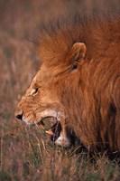 Male Lion, Masai Mara, Kenya Fine Art Print