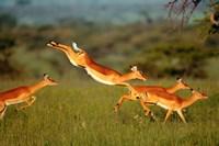 Impala, Aepyceros melampus, Mara River, Kenya Fine Art Print