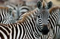 Kenya: Masai Mara Game Reserve, Burchell's zebra Fine Art Print