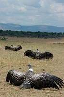 Kenya: Masai Mara Reserve, Ruppell's Griffon vultures Fine Art Print