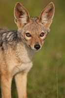 Kenya, Masai Mara GR, Black-backed Jackal Fine Art Print