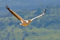 Kenya. White Pelican in flight at Lake Nakuru. Fine Art Print