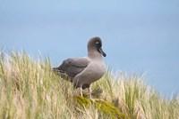 Light-mantled sooty albatross bird, Gold Harbor Fine Art Print