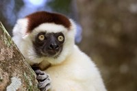 Male Verreaux's Sifaka at the Nahampoana Reserve Fine Art Print