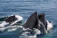 Humpback whales feeding, western Antarctic Peninsula Fine Art Print