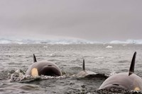 Killer whales pod, western Antarctic Peninsula Fine Art Print