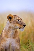 Lion Sitting in the High Grass, Maasai Mara, Kenya Fine Art Print