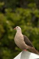 Mauritius, Black River Gorges, Pink pigeon bird Fine Art Print