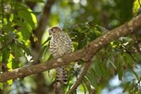 Mauritius, Kestrel bird Fine Art Print