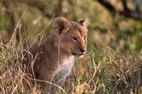 Lion cub, Masai Mara National Reserve, Kenya Fine Art Print