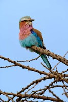 Lilac breasted Roller, Serengeti National Park, Tanzania Fine Art Print