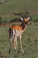 Male Impala, Antelope, Maasai Mara, Kenya Fine Art Print