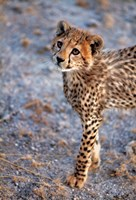 Kenya, Cheetah in Amboseli National Park Fine Art Print