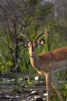 Male Black-faced impala, Etosha National Park, Namibia Fine Art Print