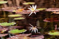 Lily in bloom on the Du River, Monrovia, Liberia Fine Art Print